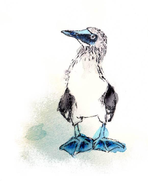 Booby Blaufuß Blaufußtölpel